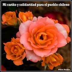 Chile estamos contigo - Chile we are with you (Pilar Azaña Talán ) Tags: chile naturaleza flower color colour nature rose flor rosa solidaridad terremoto abigfave 100commentgroup pilarazaña theoriginalgoldseal