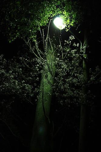 天元宮夜櫻