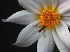 Honey Anyone (MathurSC) Tags: flowers nature bees goldstaraward goldstarawardgoldmedalwinner