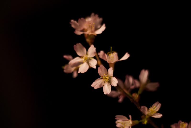 Day 156: Cherry Blossom