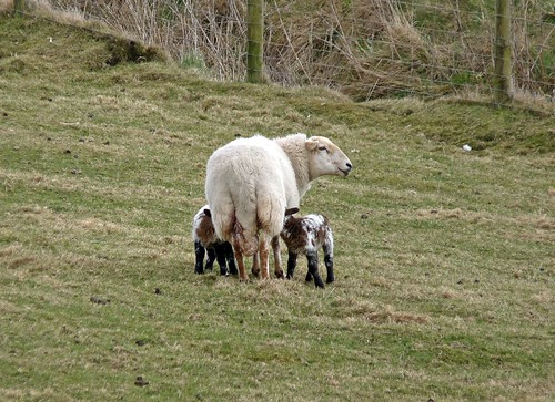12128 - New Lambs at Rhossili