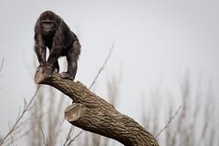 2010-03-18-11h33m51.272P4841l (A.J. Haverkamp) Tags: zoo rotterdam blijdorp gorilla dierentuin diergaardeblijdorp westelijkelaaglandgorilla nasibu httpwwwdiergaardeblijdorpnl canonef100400mmf4556lisusmlens pobfrankfurtgermany dob01042007