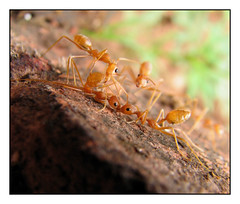 French Kiss (Aithal's) Tags: macro ant ants facetoface murali redants canons3 antsmacro aithal aithals curiousants antsgroup kissingants