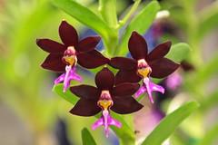 Trichoglottis brachiata (cskk) Tags: pink orchid flower yellow march purple maroon orchidaceae 2010 nsos trichoglottis trichoglottisbrachiata brachiata northshoreorchidsociety flwoolnough
