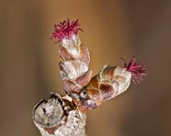 Weibliche Blüte von Corylus avellana