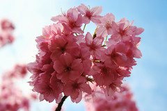 Pink Cherry Blossom (Sprengben [why not get a friend]) Tags: city wedding summer sky urban music art japan clouds skyscraper observation temple japanese tokyo bay harbor amazing nikon shinjuku shrine asia waves ship artistic gorgeous awesome watch elevator style divine international stunning cherryblossom sakura tokyotower metropolis roppongi odaiba yokohama charming foreign fabulous gundam canoneos350d 2009 hdr shushi rainbowbridge hiyoshi niijima engaging travelphotography shipparty d90 keiouniversity photomatix shibuja travellight d3s sprengben benjaminsprenger nationalgovernmentbuilding wwwflickrcomphotossprengben fatherofshushi sakurakirschblte