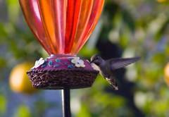 Hummingbird03202010035