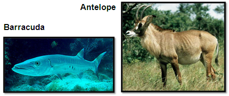 Antelope_Barracuda