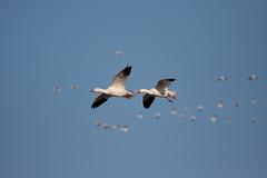 Snow Geese (cdn17) Tags: pa snowgeese middlecreekwma