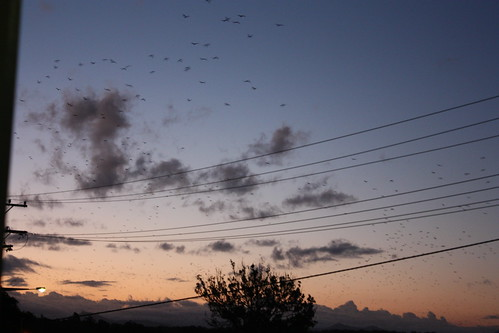 Macksville Evening (bats!)