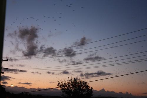 Macksville Evening (bats!)