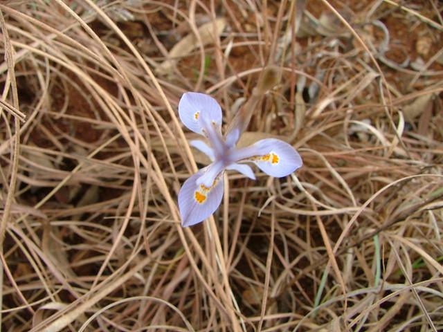 Moraea thomsonii