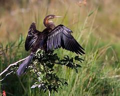 Mergulhão-serpente / African darter (António Guerra) Tags: nature birds wildlife natureza aves birdwatching krugernationalpark vidaselvagem anhingarufa slbdrying