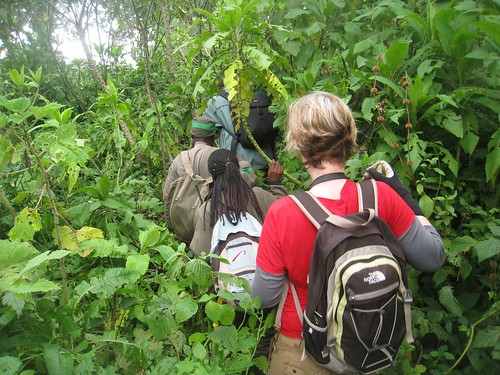 Trekking in the forest of Volcanoes National Park