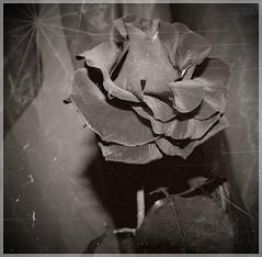 ...love me....or love me not... (Ute Burkowski) Tags: rose nikon blumen coolpix p90 blackwhitephotos theunforgettablepictures updatecollection