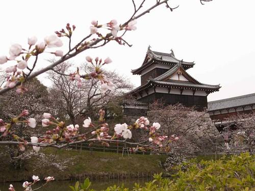 【桜】満開にはまだまだの『郡山城址』@大和郡山市