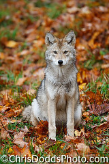 Coyote autumn pup _J1X5562 (www.chrisdoddsphoto.com) Tags: pictures coyote chris autumn wild dog baby fall leaves animal animals puppy poster mammal one photo wolf montana image photos wildlife picture canine images photographs photograph posters stockphotos lone lonely wilderness pup mammals wolves howling howl stockphoto wildanimals dodds artprint stockphotography coyotes canines artprints canislatrans howlingwolf wolfhowling howlingcoyote christopherdodds wwwchrisdoddsphotocom lisadearing wwwnaturephotographyblogcom coyotehowling