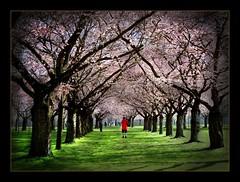Zierkirschblüten im Schwetzinger Schlossgarten (siggi2234) Tags: blumen picnik frühling schlossgarten schwetzingen blüten karfreitag kirschblüten ketsch zierkirschen shwotan siggi2234 april2010