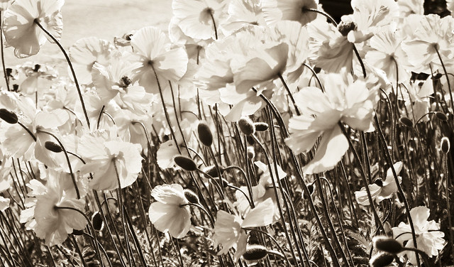 Poppies in Sepia Tones, and Good Friday