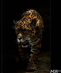 Femme Fatale (Marcio Ruiz) Tags: wild animal mammal wildlife machine hunter jaguar ona mquina selvagem mamfero vidaselvagem caador marcioruiz mruiz mrruiz flickrbigcats