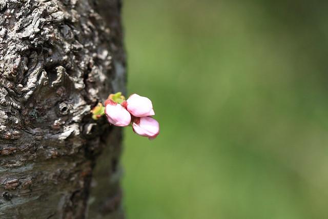 Sakura Buds / 蕾(つぼみ)