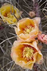 bloomingcactii1 (patcaribou) Tags: flowers texas pricklypear riogrande cactii highway170