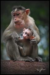 Monkey´s (SigRa-) Tags: monkey goa abe dudhsagarfalls goldstaraward goldstarawardgoldmedalwinner floradanfauna