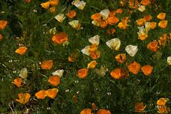 Spring Poppies In Doi Inthanon (aeschylus18917) Tags: danielruyle aeschylus18917 danruyle druyle ダニエルルール ダニエル ルール thailand ราชอาณาจักรไทย ratchaanachakthai nikon d700 nikond700 chiangmai เชียงใหม่ flower 季節 seasons spring 花 flowers poppy papaver orange 105mmf28gvrmicro nature 105mmf28 nikkor105mmf28gvrmicro park doiinthanon ดอยอินทนนท์ doiinthanonnationalpark 105mm pxt