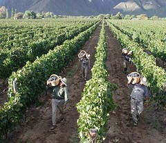 Se confirma que la cosecha de uva es escasa