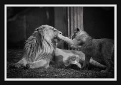 Learning by doing... (Arie van Tilborg) Tags: zoo rotterdam blijdorp leeuw rotterdamzoo shantee naui aziatischeleeuw arievantilborg