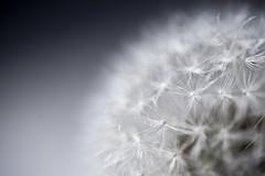 Soffia... (IL_Razza) Tags: flower macro primavera canon spring semi seeds 5d matteo tamron 90mm fiore soffione paracadute salmastro razzauti