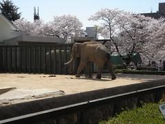 王子動物園 elephant 20100410