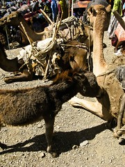 Bati gebiya #6 (Kidus Berhanu) Tags: market camel ethiopia bati wollo babydonkey oromo lowlandmeetshighland oromohairstyle