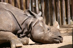 Rinoceronte (MobiousOne) Tags: rhino rhinoceros rinoceronte sleeeping