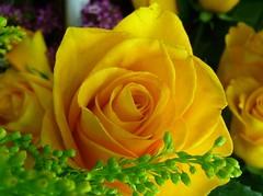 HAPPY WEEK END MY DEAR FRIENDS (picolojojo) Tags: flowers flower color nature fleur colors rose fleurs petals couleurs petal panasonic couleur pétale masterphotos abigfave anawesomeshot excellentsflowers natureselegantshots kunstplatzlinternational saariysqualitypictures flickrsportal