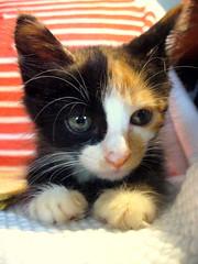 Olha só como sou muito comportada... (Bia P) Tags: cats cute animal animals cat kitten kitty purr