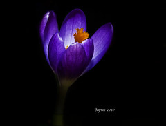 Crocus_1 (sachinvijayan) Tags: world city travel ireland girls sky people blackandwhite sachin flower color macro art love beach cup nature water up animals geotagged graffiti yahoo big nikon flickr close fifa picture crocus wallpapers top10 favourite geo poses ola d3 glee facebook onblack mostviewed tutorials haveaniceday 105mm tallaght enjoyyourday vijayan flickraward indiasun reddotstudio reddotstudios