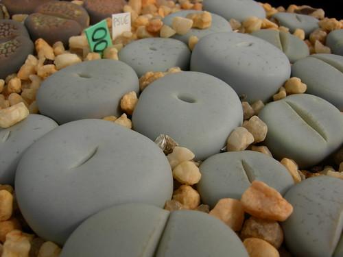 Lithops Soil Mix & Sand Top Dressing 4558891059_d4c3c65d5e