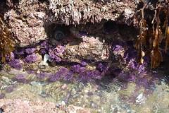 tidepool23 (timwinter79) Tags: range tidepools tidepool tidal seaurchin sanpedrotidepools