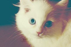 Princess FOFi.. (- M7D . S h R a T y) Tags: white cute cat blueeyes smallcat wordsbyme allrightsreserved
