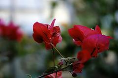 Paper Flower   GORA PARK (ddsnet) Tags: plant flower japan paper sony bougainvillea  nippon  hakone nihon hanami 900  paperflower backpackers         kanagawaken     flower paper  900