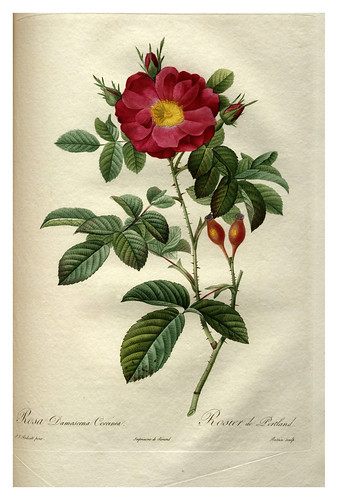 019-Les roses 1817-1824- Pierre-Joseph Redouté