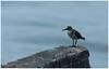 De Long Wait! (Naseer Ommer) Tags: bird canon kerala aves cochin kochi commonsandpiper actitishypoleucos scolopacidae canon400mm naseerommer canon5dmarkii discoverplanet dpintl