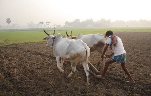 Ploughing with cattle in West Bengal