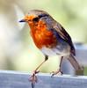 A pedicure please! (SteveJM2009) Tags: uk macro cute bird feet robin closeup foot spring toes erithacusrubecula westsussex may nails sunlit chichester 2010 redbreast stevemaskell rspb carlsbirdclub