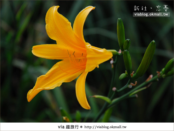 【台中休閒農場】2010金針花~新社沐心泉金針花14