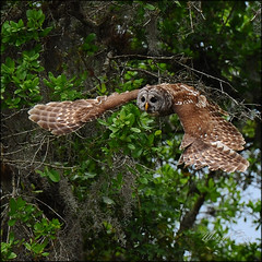 Owl outstretched (marykpics) Tags: bird nocturnal florida south owl hunter browneyes wingspan swoop hoot avian barred barredowl strixvaria yellowbeak specanimal wetprairie eighthooter dinnerislandranch mouseeater qualitygold