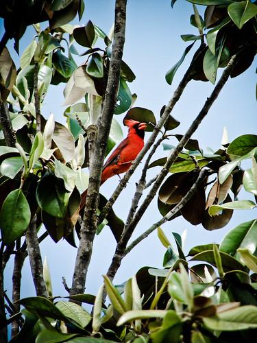 121/365 (Extra): Singing Cardinal