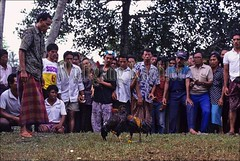 30041977 (wolfgangkaehler) Tags: people bali animal animals indonesia fight asia southeastasia contest fighting cockfight gamecock gamecocks fights cockfights localpeople contests cockfighting baliindonesia peoplewithanimals localcontest animalsfighting peopleworldwide localcontests