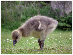 Mummy said grass is good to eat! (macfudge1UK) Tags: uk england lake bird nature fauna geotagged europe wildlife waterbird goose lakeside gosling sos waterfowl oxfordshire anseranser 2010 oxon greylaggoose stantonharcourt allrightsreserved hs10 bbcspringwatch countryfile myfuji greylaggosling naturethroughthelens thenaturesgreenpeace lttf fujifilmfinepixhs10 fujihs10 rspblovenature